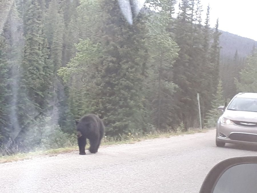 Maligne Road Black Bear